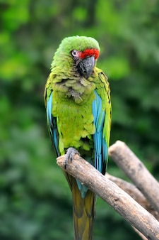 Ptak papuga (ciężka ara) siedząca na gałęzi