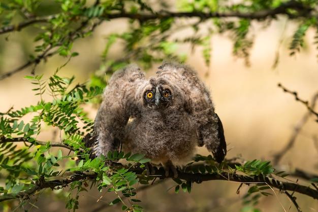 Ptak pisklę uszatka sowa. asio otus na wolności.