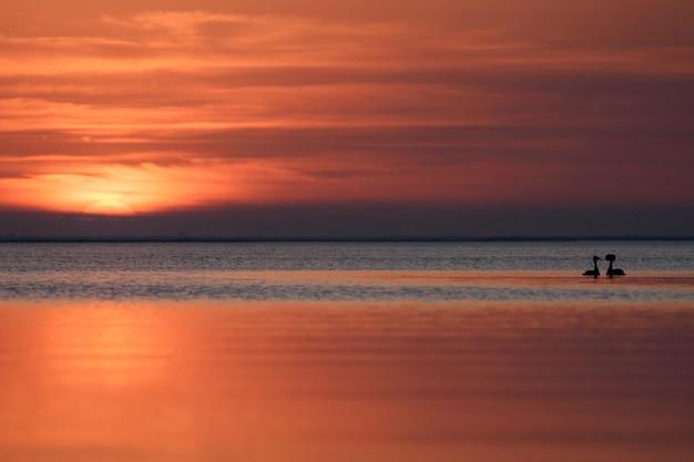 Ptak (podiceps cristatus) pływa o zachodzie słońca.