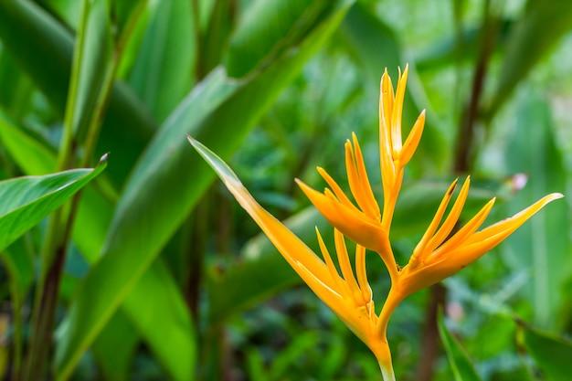 Ptak rajski kwiat, kwiat heliconia z zielonym liściem