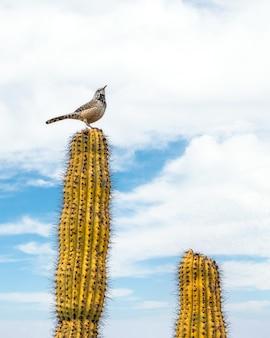 Ptak siedzący na szczycie kaktusa na pustyni sonora poza tucson w arizonie