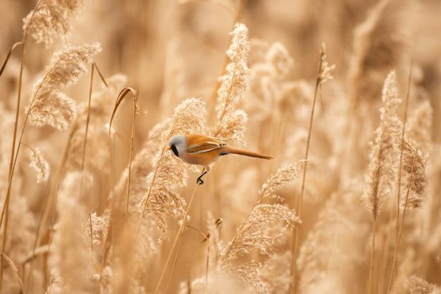 Ptak siedzi na trzcinie. sikora brodaty panurus biarmicus.