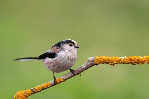 Ptak sikorka długoogoniasta na wolności.