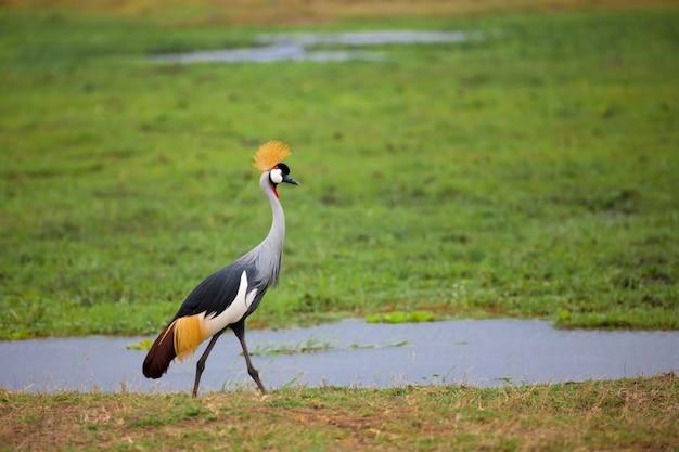Ptak spaceruje po bagnach w kenii