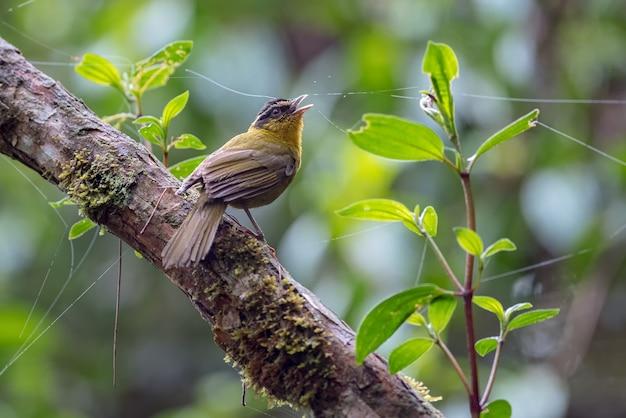 Ptak śpiewa z gałęzi drzewa w mglistym lesie