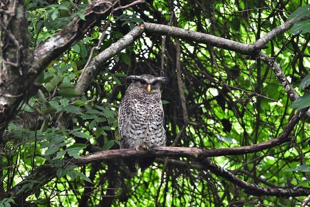 Ptak spot-bellied puchacz siedzący na drzewie w przyrodzie, tajlandia