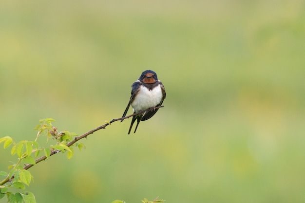 Ptak stodoła jaskółka hirundo rustica na wolności.