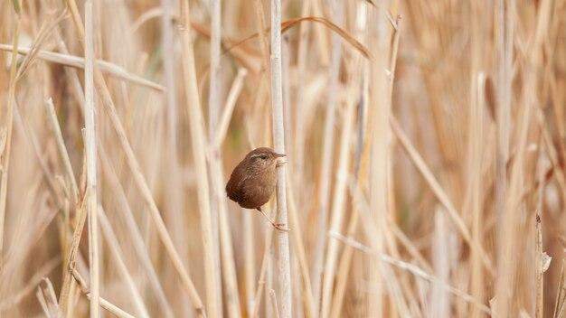 Ptak strzyżyk troglodytes troglodytes. ptak w swoim środowisku.