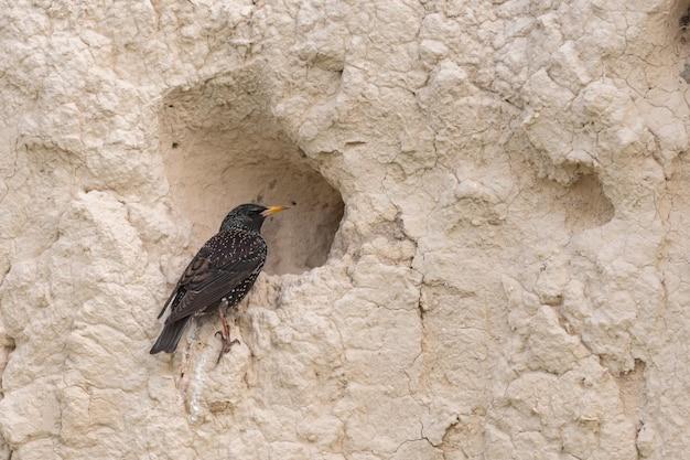 Ptak szpak zwyczajny sturnus vulgaris w naturalnym środowisku.