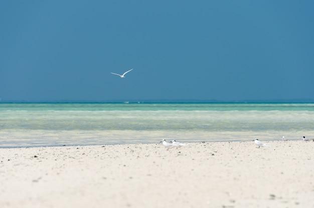 Ptak ternson czarny drzemiący latający nad przezroczystym morzem i ptaki na białym brzegu piasku
