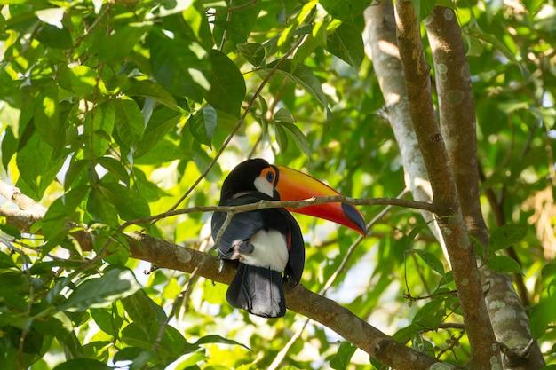 Ptak tukan o charakterze w foz do iguazu w brazylii. brazylijska przyroda