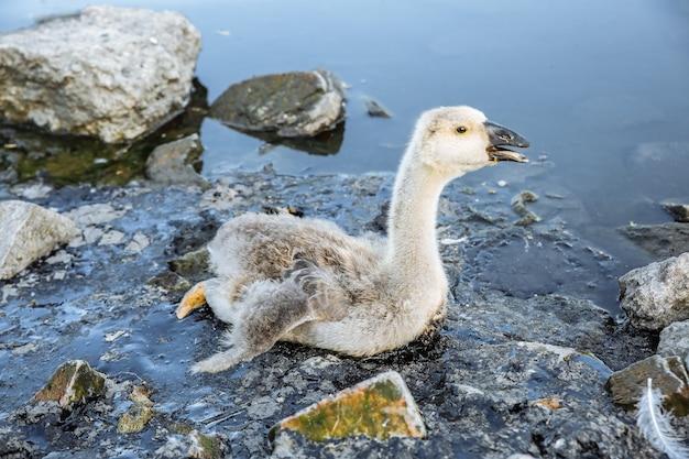 Ptak utknął w zanieczyszczonej wodzie ze smołą. umierające zwierzęta w odpadach przemysłowych. zabrudzone ropą rzeki i oceany. mała gęś w niebezpieczeństwie. problem środowiskowy. szkodliwy człowiek. katastrofa ekologiczna.