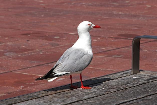 Ptak w auckland mieście w nowa zelandia