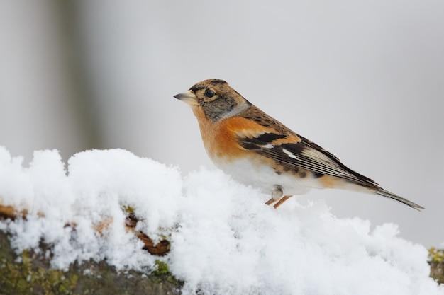 Ptak w śnieżnej gałęzi drzewa