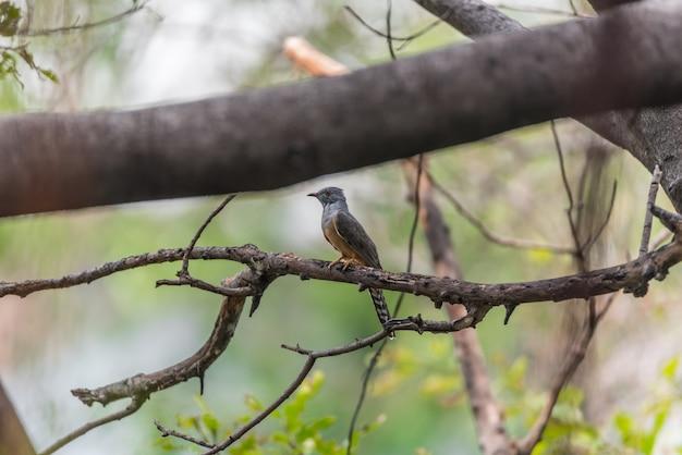 Ptak (żałosna kukułka, cacomantis merulinus) w kolorze czarnym, żółtym, brązowym i pomarańczowym