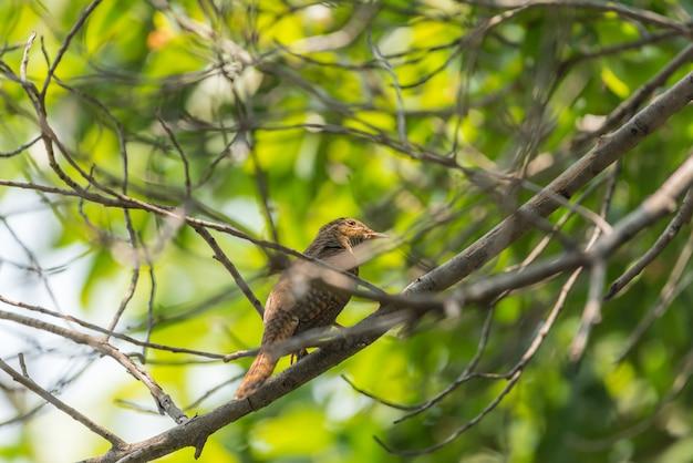 Ptak (żałosna kukułka) w dzikiej przyrodzie