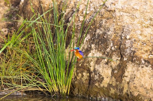 Ptak zimorodka siedzi na trzcinie w kenii w afryce