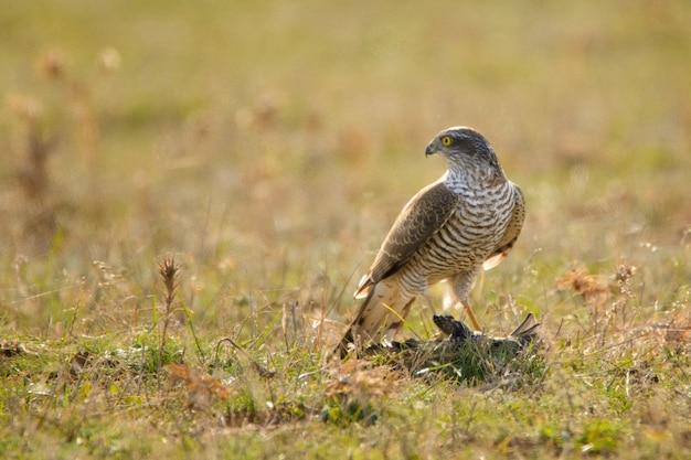 Ptaki drapieżne - krogulec (accipiter nisus) z ofiarą.
