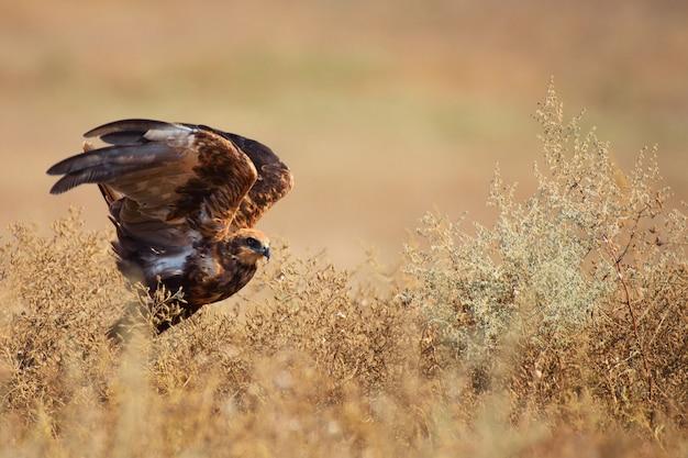 Ptaki drapieżne marsh harrier circus aeruginosus w naturalnych siedliskach