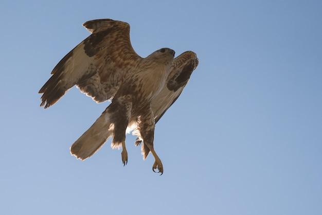 Ptaki drapieżne, myszołów długonogi buteo rufinus, w locie