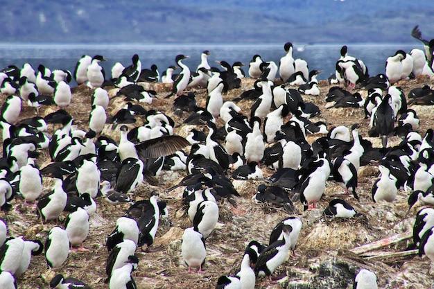 Ptaki i pingwiny na wyspie w kanale beagle w pobliżu miasta ushuaia, ziemia ognista w argentynie