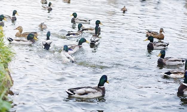 Ptaki na stawie. stado kaczek i gołębi nad wodą. ptaki wędrowne nad jeziorem.