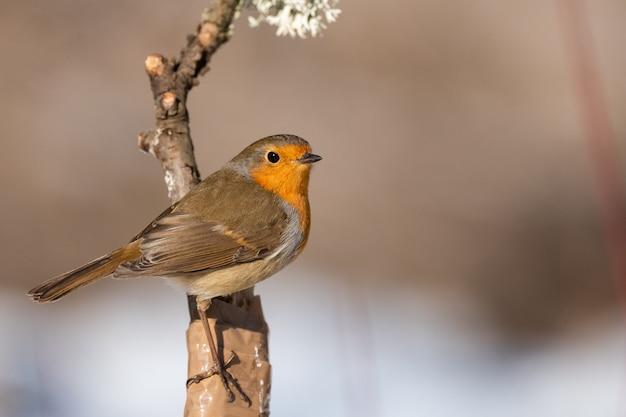 Ptaki ogrodowe. robin erithacus rubecula siedzący na gałęzi drzewa.