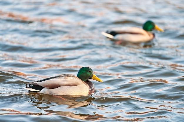 Ptaki wodne krzyżówki pływające w wodzie