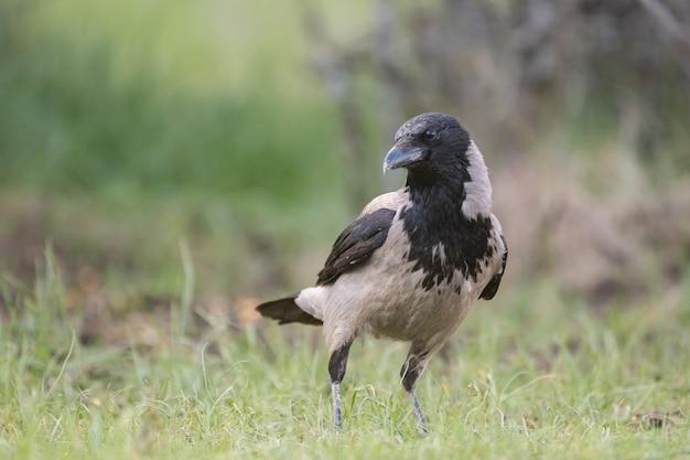 Ptaki wrona z kapturem corvus cornix. w dziczy.