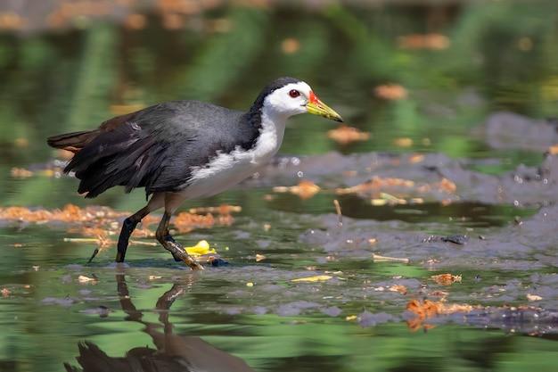 Ptaków wodnych (amaurornis phoenicurus) poszukuje pokarmu na bagnach. ptak. zwierząt.