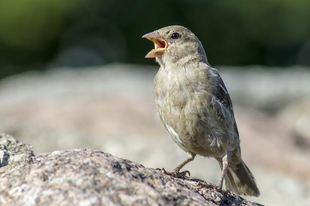 Ptaszek siedzi na skale i śpiewa