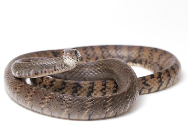 Ptyas mucosa orientalne indian rat snake izolowane na białym tle.