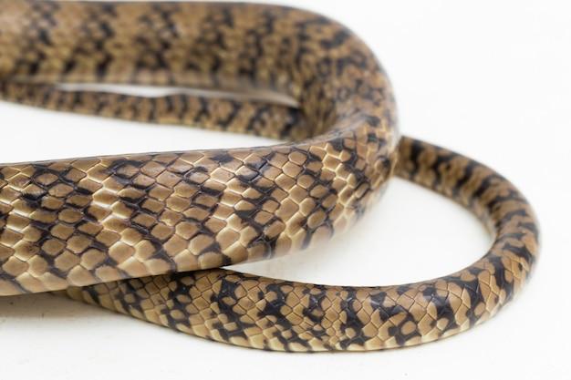 Ptyas mucosa orientalny wąż szczurzy indyjski wąż szczura na białym tle