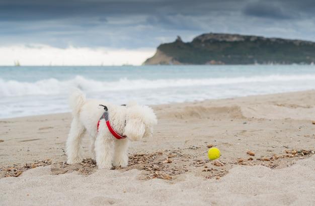 Pudel pies gra na plaży z żółtą piłką