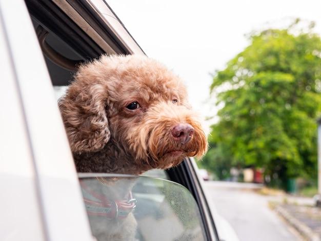 Pudel pies obok okna samochodu. zabawna zabawa dla zwierząt z transportem i podróżą na zewnątrz.