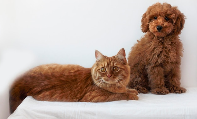 Pudel toy w kolorze czerwono-brązowym siedzi obok leżącego rudego kota na białym tle