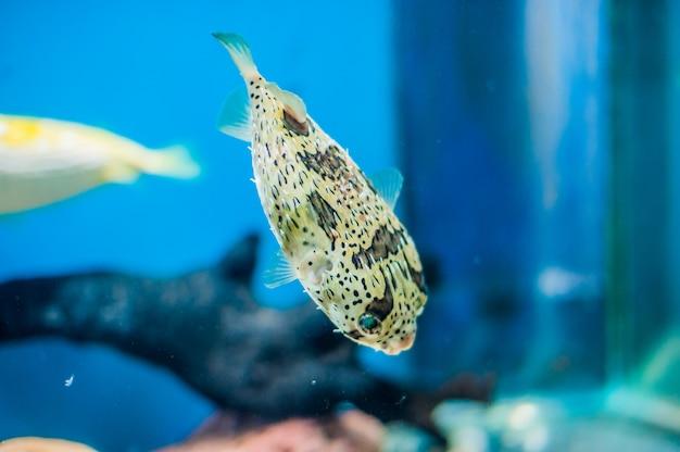 Pufferfish jeżatka w akwarium na niebieskim tle
