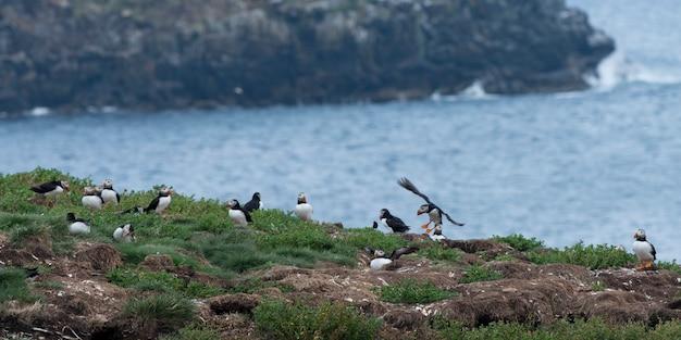 Puffin atlantycki na wybrzeżu, little catalina, wyspa north bird, półwysep bonavista, newfoundlan