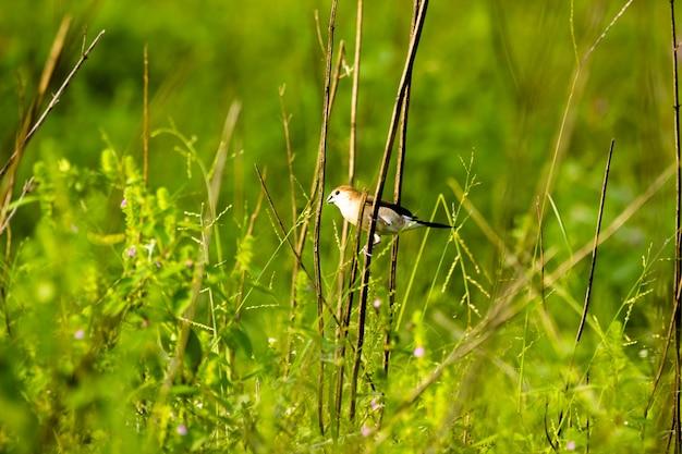 Puffthroated babbler siedzący na gałęzi