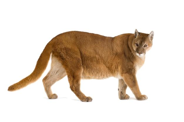 Puma (17 lat) - puma concolor na białym tle