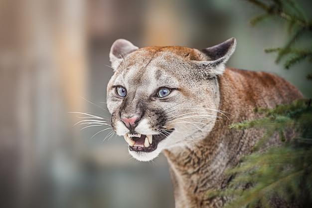 Puma lub puma (puma concolor) portret. złe emocje