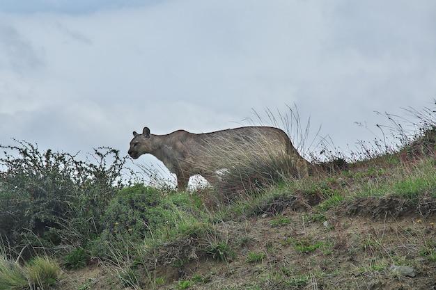 Puma w parku narodowym torres del paine, patagonia, chile
