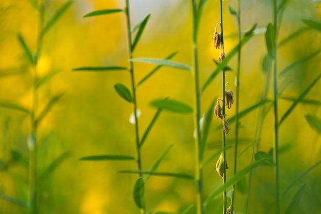 Pummelo kwiat, obrazek żółta roślina