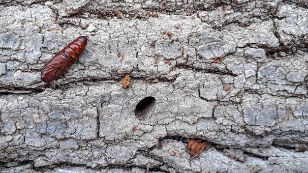 Pupa motyla na pniu drzewa znalezionego podczas spaceru w naturze.