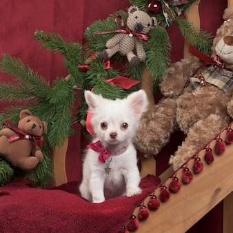 Puppy chihuahua w świątecznej dekoracji