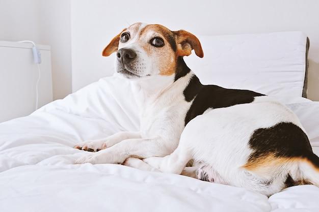 Puppy leżącego na białym łóżku w jasnej sypialni patrząc na kamery