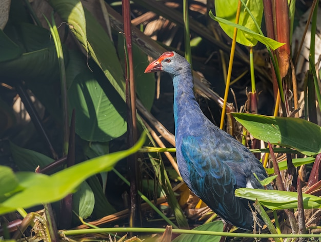 Purple swamphen znajduje jedzenie
