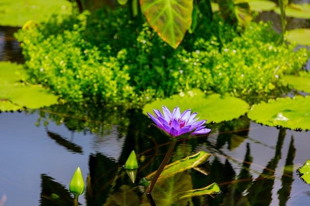 Purpurowa lilia wodna w jeziorze z liściem. kwiat natury.