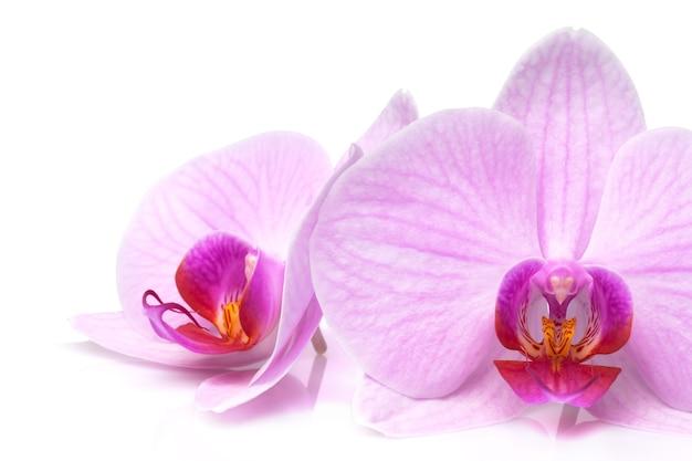 Purpurowa orchidea jest izolowana