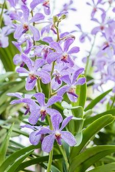 Purpurowa orchidea, mokara.